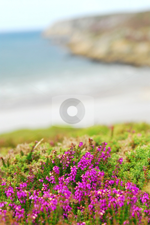 Atlantic coast in Europe stock photo, Heather blooming at the Atlantic ocean coast in Brittany, France by Elena Elisseeva