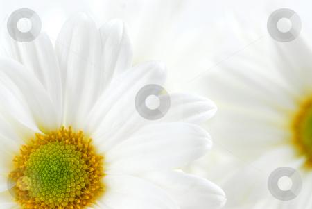 White daisies stock photo, Macro image of two white daisies flowers by Elena Elisseeva