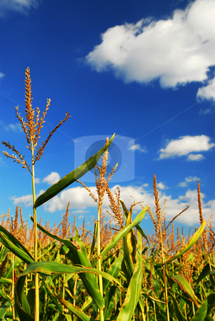 Corn field stock photo, Corn growing in a farm field under bright blue sky by Elena Elisseeva
