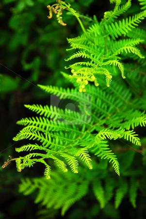 Fern stock photo, Closeup on green leaves of a fern growing in woodland by Elena Elisseeva