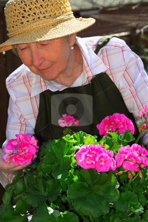 Senior woman gardening stock photo, Senior woman with a pot of geranuim flowers in her garden, focus on flowers by Elena Elisseeva