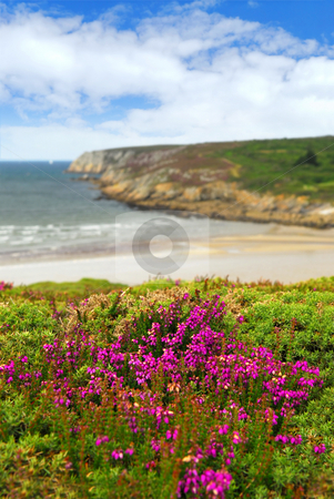 Atlantic coast in Brittany stock photo, Heather blooming on Altantic coast in Brittany, France by Elena Elisseeva