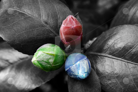 Red green and blue nature stock photo, Three young buds tinted in red green blue colours by Dario Rota