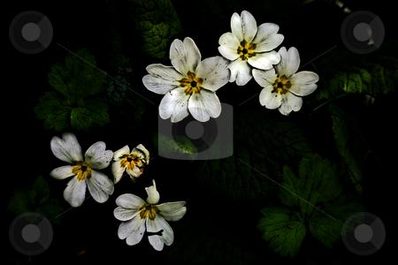 ... primulae stock photo,  by emiliano beltrani
