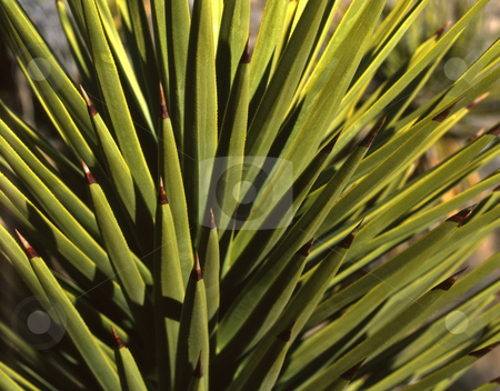Mojave Yucca stock photo, A majave yucca plant. by Mike Norton