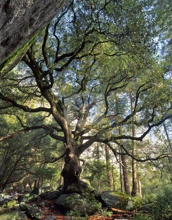 Black Oak Tree stock photo, A black oak tree in Yosemite National Park, California. by Mike Norton
