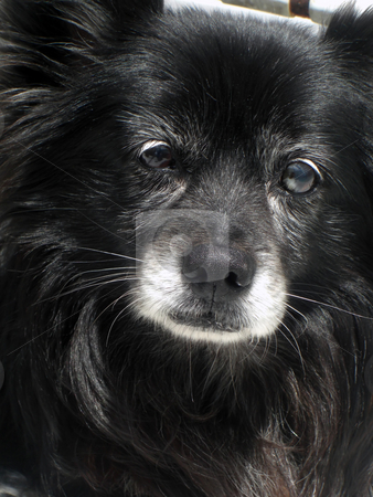 InnocentFace stock photo, An innocent looking face of an aging dog. by Rebecca Mosoetsa