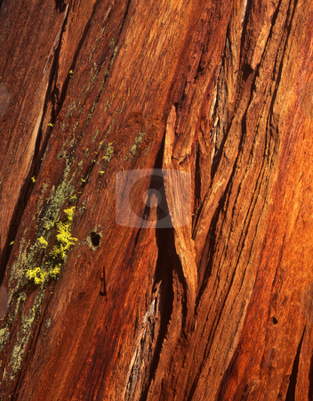 Redwood Tree Bark stock photo, The bark of a redwood tree in California. by Mike Norton