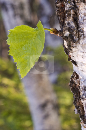 Green sheet. stock photo, Small green sheet on a trunk of the large tree. by Yury Ponomarev