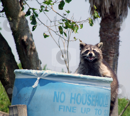 Don't Litter stock photo, Raccoon foraging in trash barrel for food by Marburg