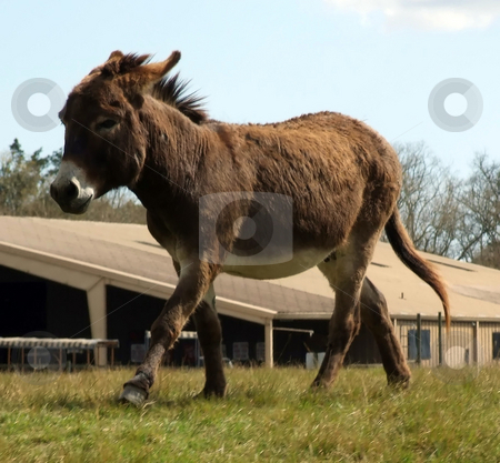 Donkey stock photo, Old donkey running to get a treat by Marburg