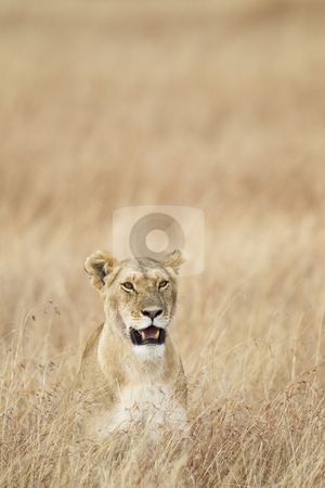 Lioness stock photo, Lioness in the grass, Masai Mara National Reserve, Kenya, Africa by mdphot