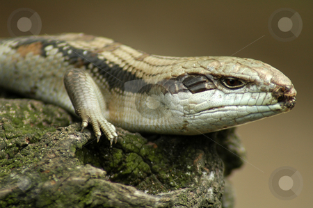 Eastern Blue-tongued Lizard stock photo, Eastern Blue-tongued Lizard on old wood, distance blurriness by Robert Remen