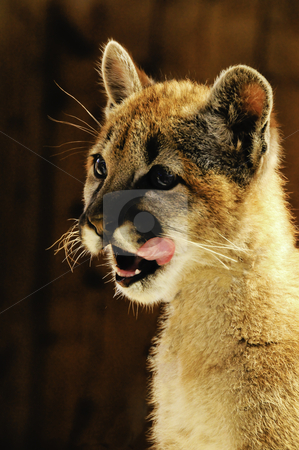 Young Mountain Lion stock photo, A young mountain lion licking his face by Bonnie Fink