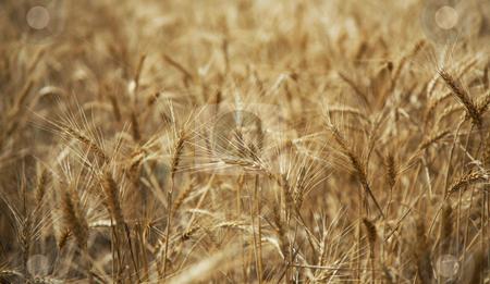 Ripe wheat stock photo, Ripe wheat by krasyuk