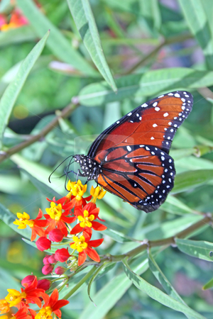 Butterfly stock photo, A monarch butterfly sitting on a flower by Lucy Clark
