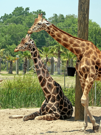 Giraffes stock photo, Two Giraffes in a large safari park by Lucy Clark