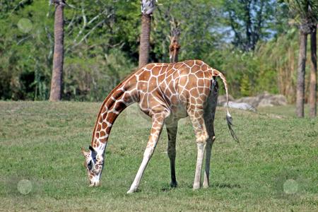 Giraffe stock photo, A Giraffe eating the grass in a safari park by Lucy Clark