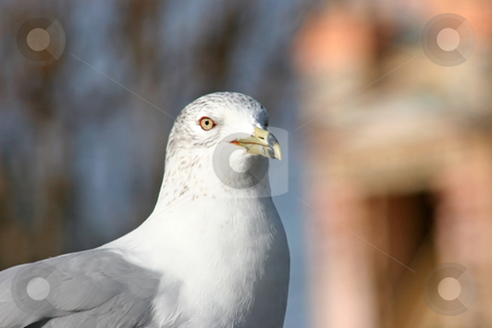 Seagull stock photo, A Seagull gazing into the distance by Lucy Clark