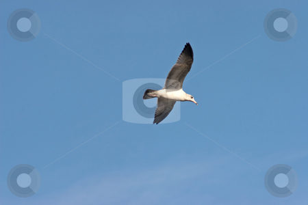 Seagull stock photo, A Seagull flying in the blue sky by Lucy Clark
