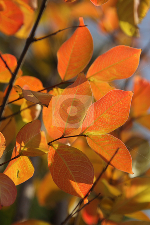 Autumn foliage stock photo, Bright red and orange autumn leaves on branches by Olena Pupirina