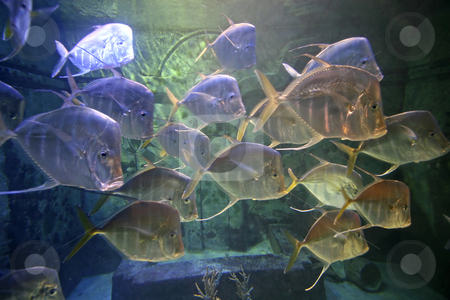Swimming Fish stock photo, A lot of Fish swimming in a tank by Lucy Clark
