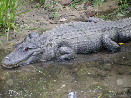 Alligator stock photo, Alligator in the Wild by Ritu Jethani