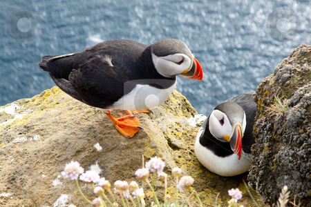 Puffins on the rock - Latrabjarg, Iceland stock photo, Colorful puffins on the rock - Iceland by Tomasz Parys