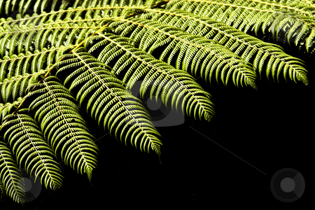 Fern stock photo, Close-up of a native fern of lowland forests in New Zealand by josefstuefer