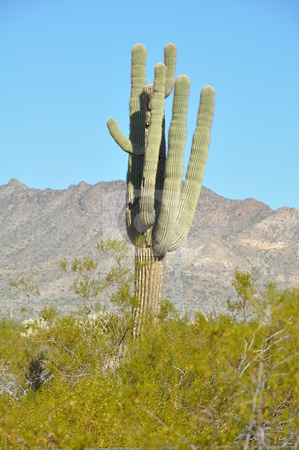 Cactus stock photo, Cactus in the Desert by Ritu Jethani