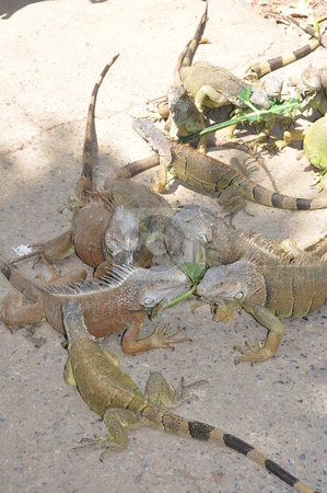 Iguana stock photo, Iguana in the Wild by Ritu Jethani