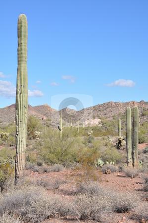 Cactus in the Desert stock photo, Cactus in the Desert in Arizona by Ritu Jethani