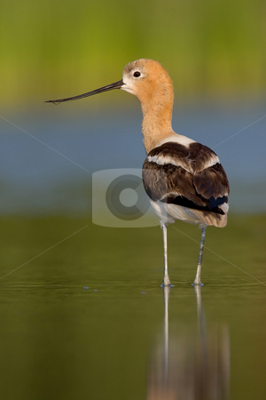 American Avocet (Recurvirostra americana) stock photo, American Avocet in breeding plumage standing in water. Blurred background. by Glenn Price