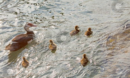 Ducks stock photo, Little family of ducks with five chicks swimming in the water by Fabio Alcini