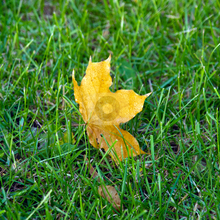 A maple leaf on green grass in early morning stock photo, A maple leaf on green grass in early morning by tending