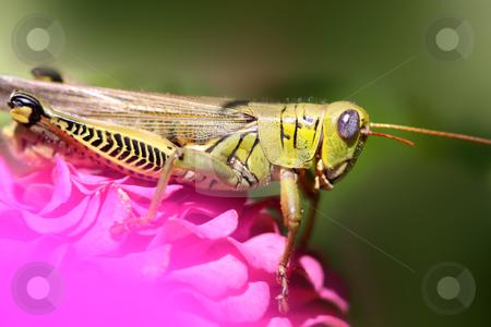 Grasshopper  stock photo, Close up shot of grasshopper on the flowering plant by Sreedhar Yedlapati