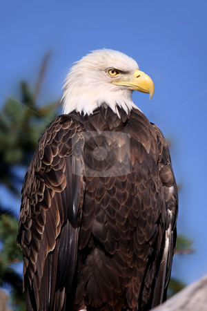 Bald Eagle stock photo, Close up shot of Bald eagle on a tree branch by Sreedhar Yedlapati