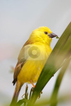 Golden white eye bird stock photo, Close up shot of beautiful Golden white eye bird by Sreedhar Yedlapati
