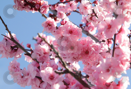 Blooming tree stock photo, Pink flowers on blooming tree over blue sky by Olena Pupirina