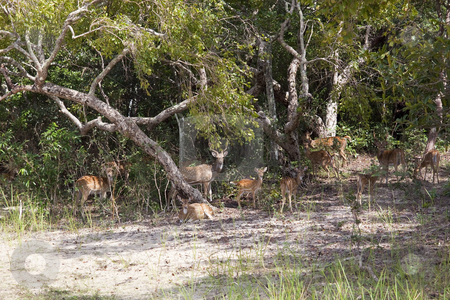 Spotted deer in sri lanka stock photo, a herd of spotted deer watching from the jungle of wilpattu national park in sri lanka by Mike Smith