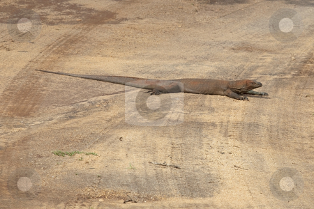 Land monitor stock photo, a sri lankan land monitor on a sandy track in udawalawe national park by Mike Smith