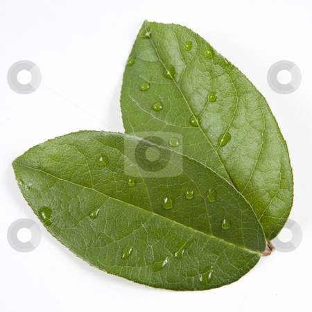 Green leaves with water droplets, Taken Closeup and isolated on white background stock photo, Green leaves with water droplets, Taken Closeup and isolated on white background by Melissa King
