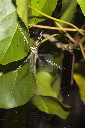 St andrews spider stock photo, a saint andrews spider argiope anasuja with its distinctive web by Mike Smith