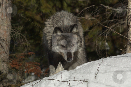 Female Gray Wolf stock photo, A female gray wolf in snow during winter by Dave Parker