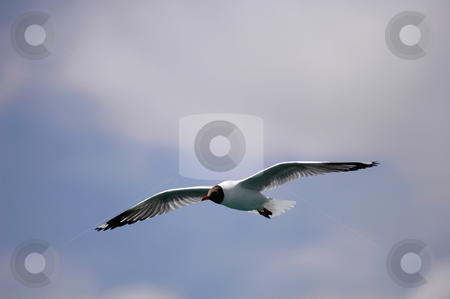 Single seabird flying in the blue sky stock photo, Single seabird flying in the blue sky by John Young