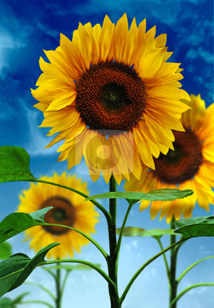 Sunflowers on background sky stock photo, Sunflowers on background sky by Andrey Zyk