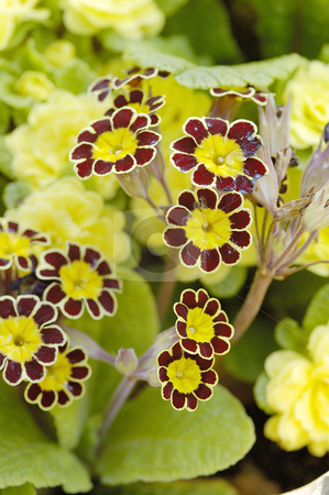 Primula gold lace stock photo, closeup study of flower Primula Gold Lace by Denovan