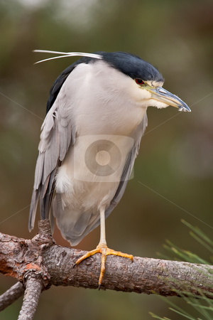 Black-crowned Night-Heron (Nycticorax nycticorax) stock photo, Black-crowned Night-Heron standing on one leg on a branch. by Glenn Price