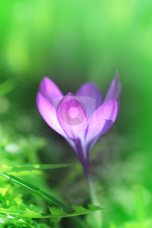 Crocus beauty stock photo, Beautiful corcus in the grass close up by Juliet Photography