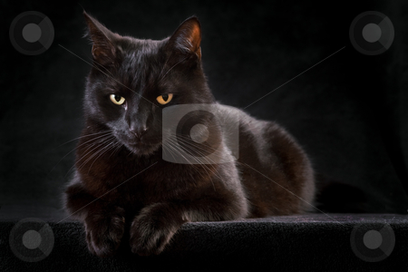 Black cat stock photo, black cat domestic animal with beautiful eyes concept for animal friendship or spooky horror halloween by Dirk Ercken